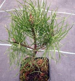 Bergkiefer im Topf Pinus mugo