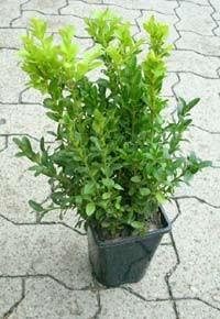 Buchsbaum, Buxus sempervirens arborescens 25-30 Topf
