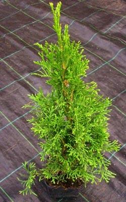 Lebensbaum-Thuja smaragd Topf-Container