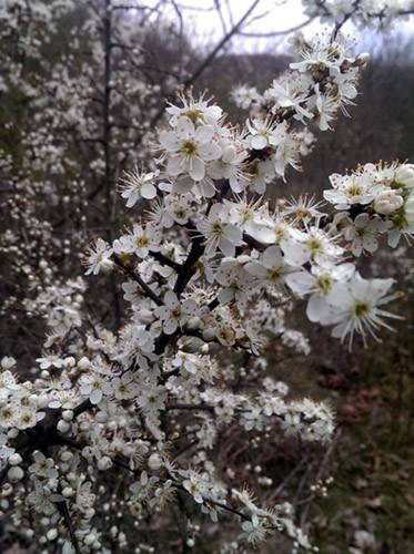 Schlehen Jung-Pflanzen Prunus spinosa