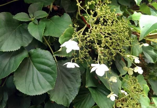ausverkauft / Kletterhortensie Hydrangea anomala petiolaris Topf