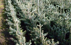 Nobilis-Tanne, Abies nobilis Jungpflanze Topf 18-22 cm