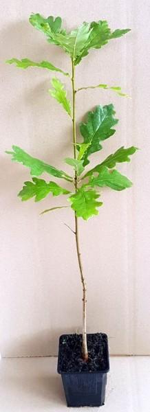 Stieleiche Quercus robur Jung-Pflanze im Topf gewachsen 40-70 cm
