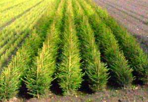 Gemeine Fichte Picea abies 4 Jahre