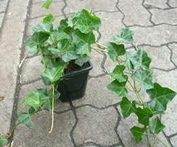 Efeu Pflanzen, Hedera helix, 30-50 Topf