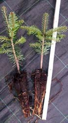 ausverkauft / Nordmanntanne Jungpflanze Topf gewachsen 20-30 cm