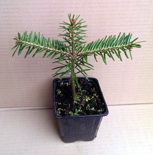 Weißtanne, Abies alba, Jung-Pflanze im Topf 15-22 cm