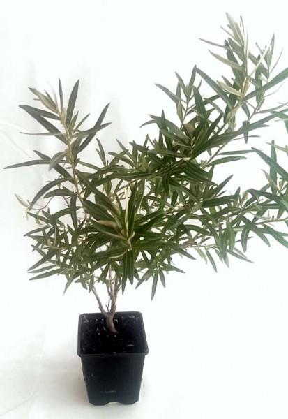 Sanddorn Pflanzen im 1 Liter Topf 40-70cm
