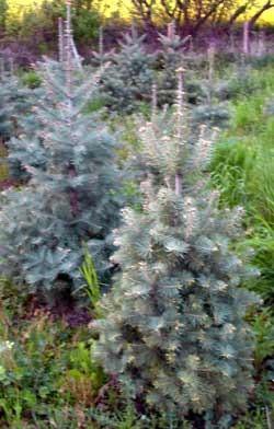 Colorado-Tanne im Topf gewachsen Abies concolor