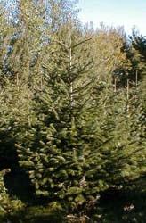 Nordmanntanne Jung-Pflanzen 5 jährige Nordmannstanne