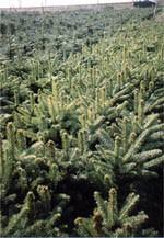 Blaufichte Picea pungens glauca kaibab 3 Jahre
