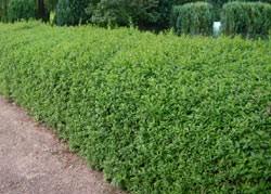 ausverkauft / Liguster-Hecke,Wintergrün Ligustrum vulgare atrovirens,