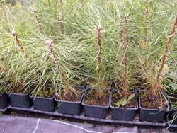 Schwarzkiefer im Topf Pinus nigra austriaca mit Torfballen 5-10 cm