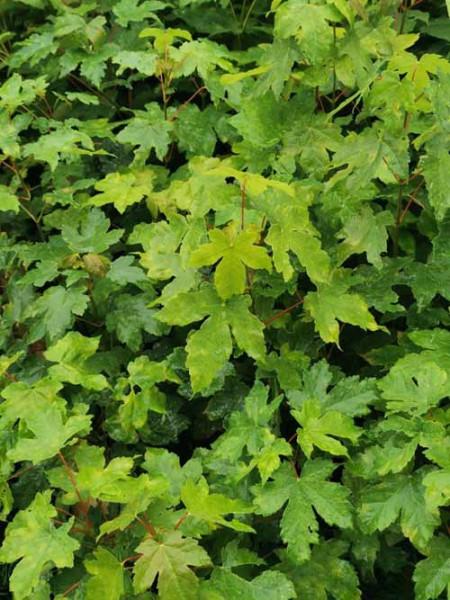 Feldahorn, Acer campestre, Jung-Pflanze im Topf 40-60cm