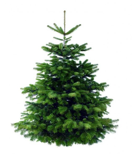frisch geschlagen 150-165cm beste Qualität: 4-Sterne Weihnachtsbaum Nordmanntanne