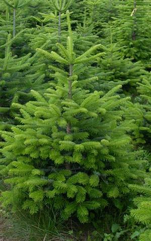 frisch geschlagen 100-125cm beste Qualität: 4-Sterne Weihnachtsbaum Nordmanntanne