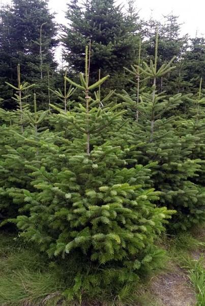 frisch geschlagen 125-150cm beste Qualität: 4-Sterne Weihnachtsbaum Nordmanntanne