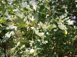 25 x Deutsche Stieleiche Quercus robur Pflanze
