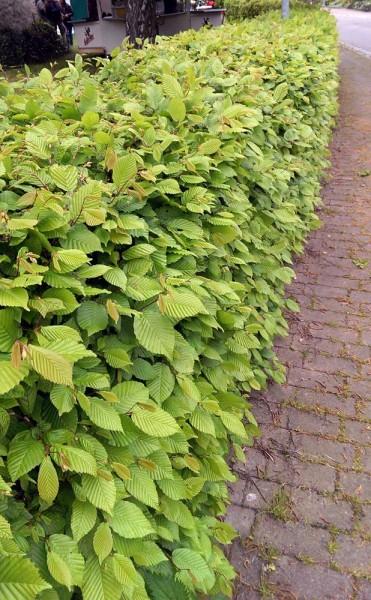 Hainbuche Carpinus betulus Weißbuche