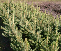 Blaufichte Picea pungens glauca, 4 Jahre