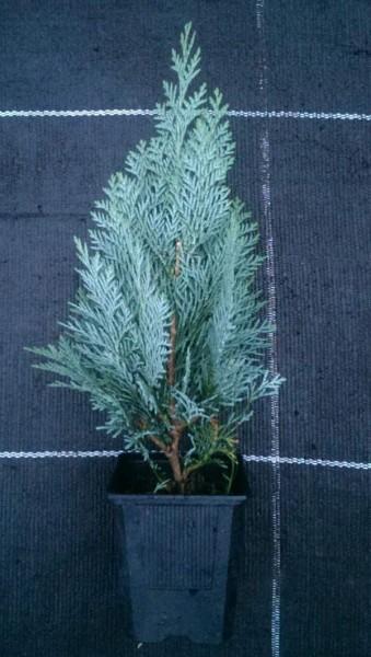 ausverkauft / Blaue Schein- Zypresse im Topf Chamaecyparis lawsoniane 10-15cm