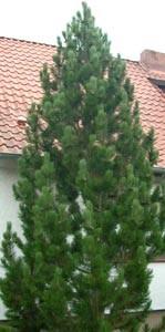 ausverkauft / Säulenkiefer im Topf Pinus nigra pyramidata