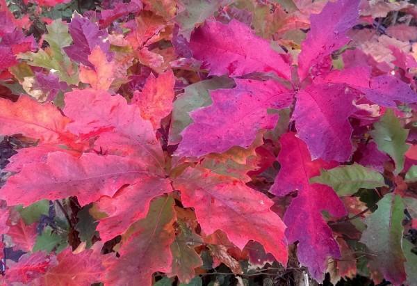 Roteiche, Quercus rubra Jungpflanze im Topf