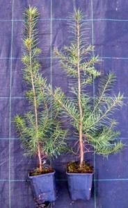 Douglasie Pseudotsuga menziesii im Topf gewachsen 30-60 cm