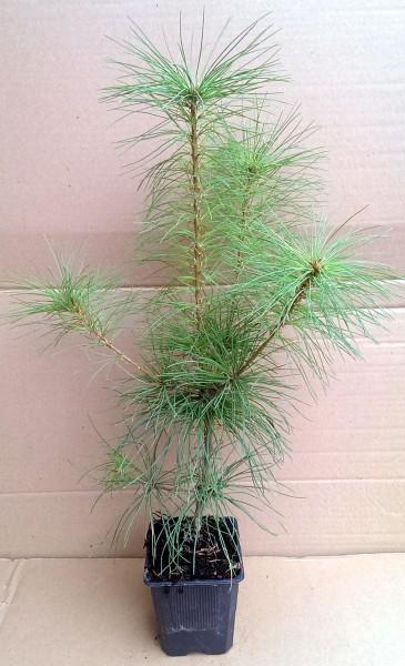 Weymouth-kiefer im Topf Pinus strobus 20-40 cm