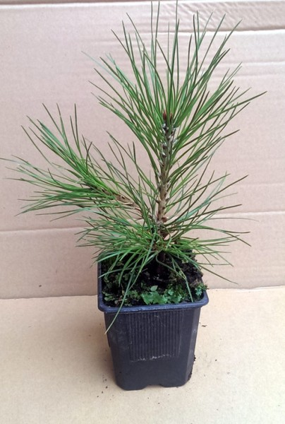 ausverkauft / Schlangenhaut-Kiefer im Topf Pinus leucodermis 5-12 cm