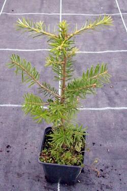 ausverkauft / Küstentanne Riesentanne Abies grandis im Topf Jungpflanze