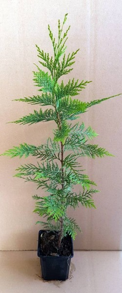 ausverkauft /Grün-Blaue Schein- Zypresse im Topf Chamaecyparis lawsoniane 20-30cm