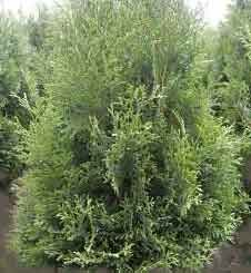 Lebensbaum-Thuja occidentalis 40-60 cm