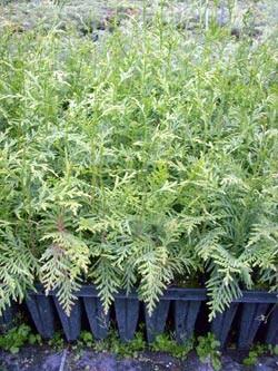 Riesen-Lebensbaum-Thuja plicata im Topf 15-30 cm