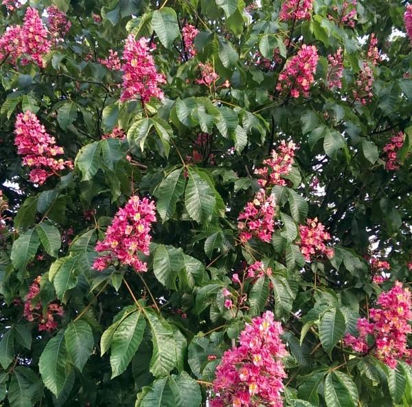 ausverkauft / Rotblühende Kastanie Aesculus carnea Briotii Jungpflanze im Topf 10-15 cm