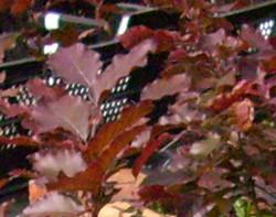 ausverkauft / Blutbuche Fagus sylvatica Purpurea im Topf 20-30 cm