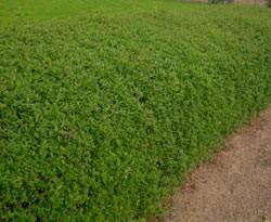 Liguster Immergrün Ligustrum ovalifolium Topf 40-80 cm