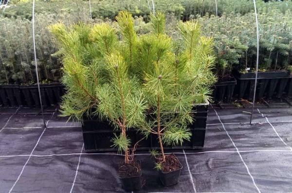 ausverkauft / Gemeine Kiefer im Topf Pinus sylvestris 15-20 cm