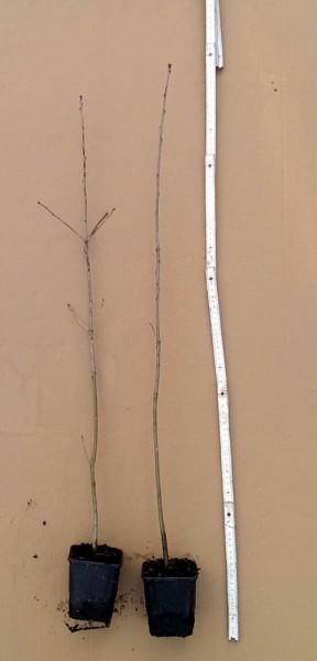 Spree-eiche Quercus palustris Jung-Pflanze im Topf 30-60 cm