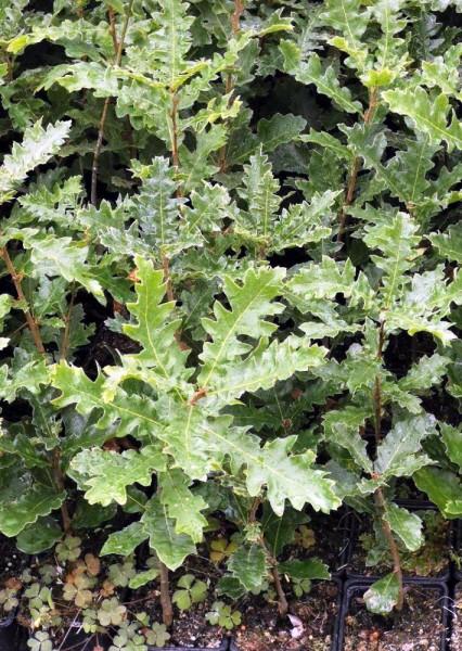 Zerreiche, Quercus cerris, Jung-Pflanze im Topf 30-60cm