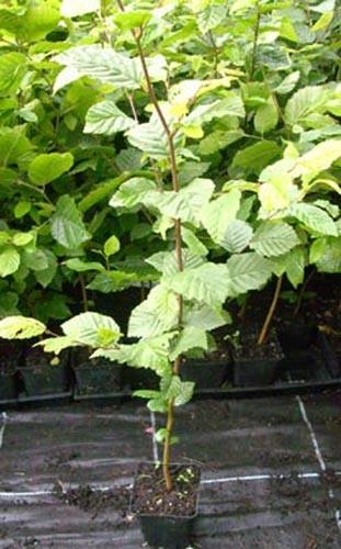 Hainbuche Carpinus betulus im Topf