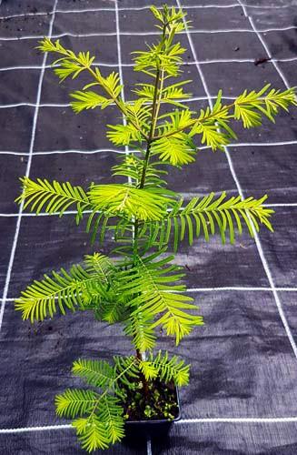 Urweltmammutbaum Metasequoia glyptostroboides imTopf